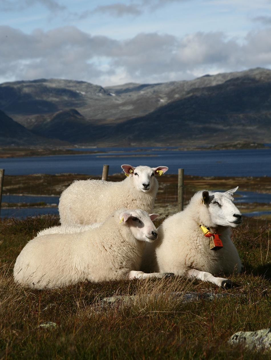 """""""Silke, alpakka og ull, derimot, finnes ikke bærekraftig, hilsen orakel HIGG""""."""
